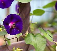 The Morning Glory & The Bee - Auntie Wilma's Garden by mattnnat