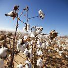 Cotton Fields - Texas by mattnnat