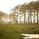 Assateague Ponies - Chincoteague Virginia by mattnnat
