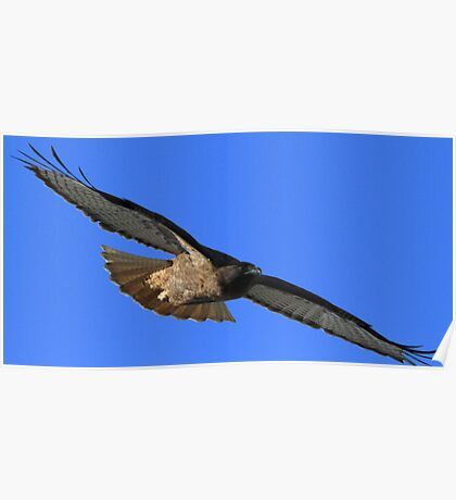Red Tail Shows It's Wingspan Poster