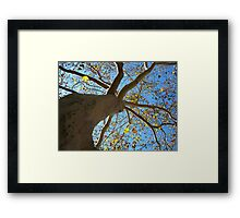 Sycamore Tree Framed Print