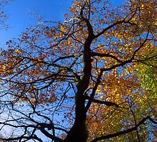 brilliant autumn beech by Ilapin