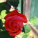 November Rose 2 by dge357