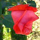 November Rose 4 by dge357