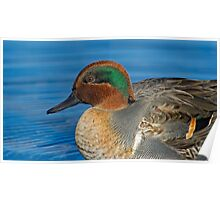 Green winged teal profile  Poster