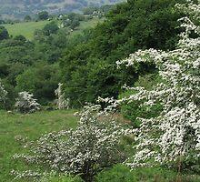 Hawthorn bushes everywhere by Jane Corey