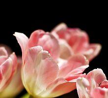 Macro Tulips by Alisdair Binning