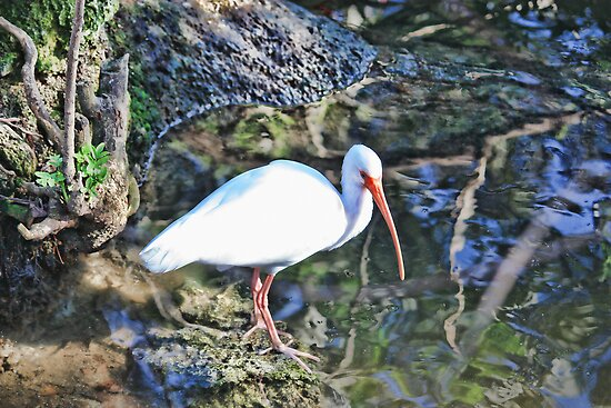 White Ibis by AuntDot