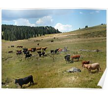 Grazing Cattle, Colorado Mountains Poster