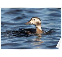 Avian Submersible / Long Tailed Duck Poster