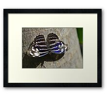 Blue, Black and White Butterfly  Framed Print