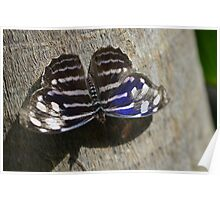 Blue, Black and White Butterfly  Poster