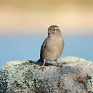 Sparrow by James1980