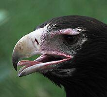 Australian Wedge-tailed Eagle Portrait #1. by Carole-Anne