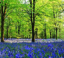 Bluebells by Ian Jones