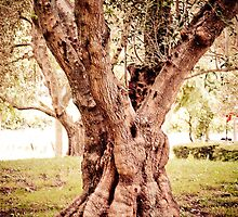 Olive Tree by Jan  Stroup ~ Photojournalist