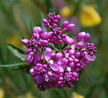 Australian Wild Flowers  by geoffgrattan
