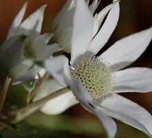 Flannel Flowers taken in the Grenfell District New South Wales by geoffgrattan