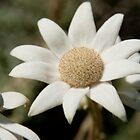 Flannel Flower, Botany Bay National Park by Erik Schlogl