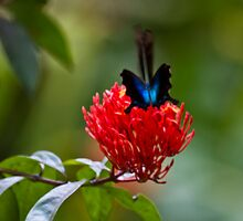 Blue Swallowtail Butterfly - Indonesia by Normf