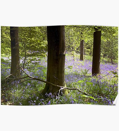 Bluebells in Clapdale Wood - The Yorkshire Dales Poster
