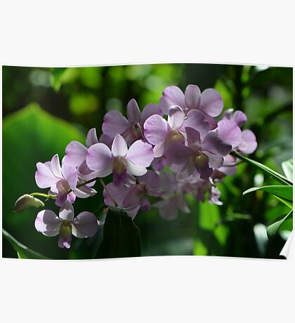 Spray of Light Purple Orchids in Sunlight Poster