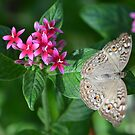Beige Butterfly on Resting on Pentas by Paula Betz