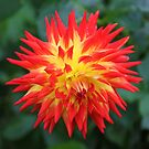 Kenora Sunset Dahlia by John Dalkin