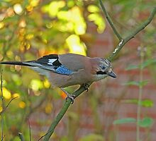 Common Jay by Robert Abraham