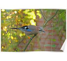 Common Jay Poster