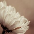 dusty daisy by martine fitchett