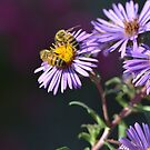 Two Bees on Purple Asters by Paula Betz