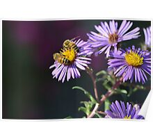 Two Bees on Purple Asters Poster
