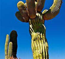 Giant Saguaro Cactus - Sonora, Mexico  by Jessica Karran