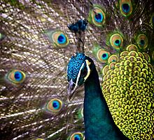 Peacock Plume by dubl3