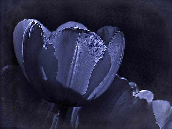 Misty blue fantasy tulip by Celeste Mookherjee
