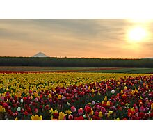 Tulips At Sunrise Photographic Print