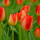 A Tapestry Of Tulips by Nick Boren
