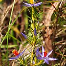 Blue Tinsel Lily by kalaryder