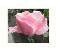 Lovely Wet Pink Rose Art Print