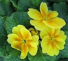 Yellow and Gold Primroses by BlueMoonRose