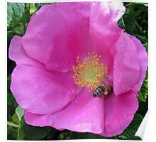 An English Rose and an Italian Bee  Poster