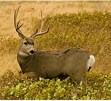 Mule Deer Buck wildlife photo by Donna Ridgway Photographic Print