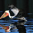 Brown Pelican Water Take Off by DARRIN ALDRIDGE
