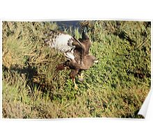 Dark Morph Red Tail Flies With Mouse Poster