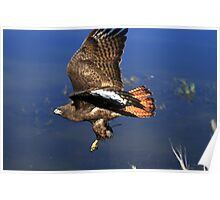 Red Tail Flight With Prey Poster