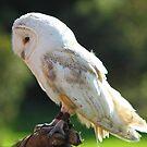Back Lit Barn Owl Called Fidget by WOBBLYMOL