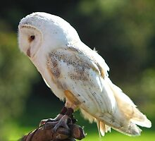 Back Lit Barn Owl Called Fidget by WOBBLYMOL