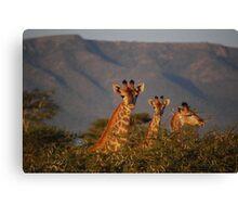 Giraffe in the wild Canvas Print