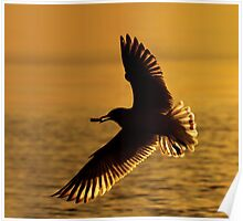 Ring-billed Gull Silhouette. Poster